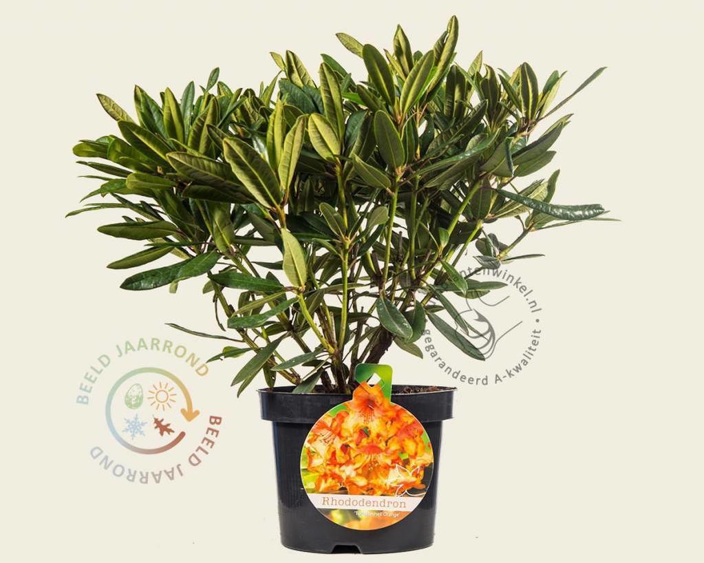 Rhododendron 'Tortoiseshell Orange'