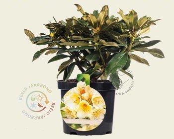 Rhododendron yakushimanum 'Flava'