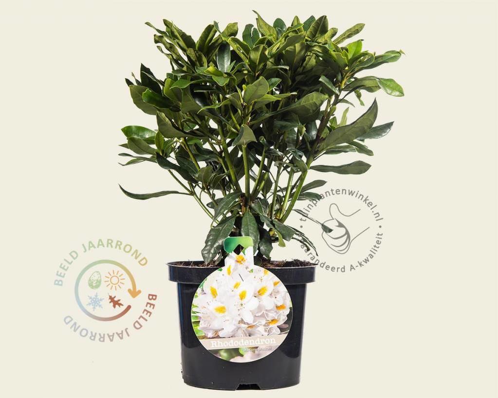 Rhododendron ponticum 'Madame Masson'