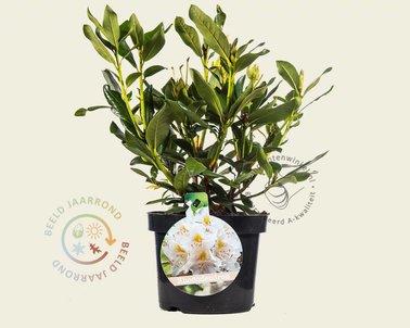 Klik hier om Rhododendron 'Cunningham's White' te kopen