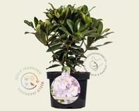 Rhododendron catawbiense 'Gomer Waterer'