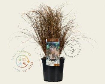Carex comans 'Bronze Form'
