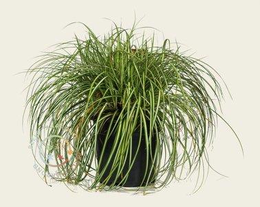 Klik hier om Carex oshimensis 'Evergold' te kopen