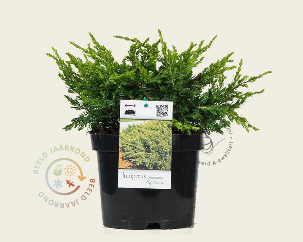 Juniperus communis kopen