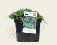 Juniperus horizontalis 'Icee Blue'