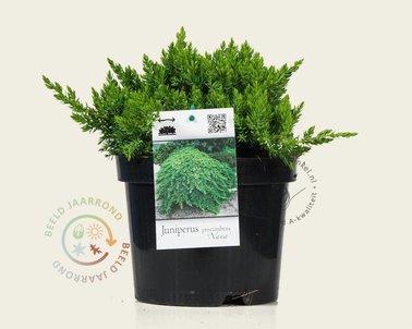 Klik hier om Juniperus procumbens 'Nana' te kopen