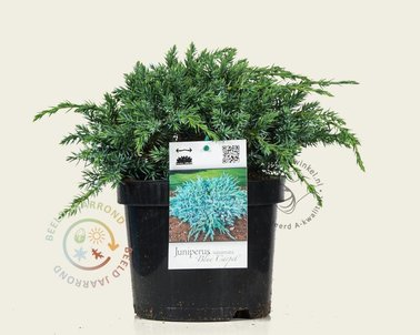 Klik hier om Juniperus squamata 'Blue Carpet' te kopen