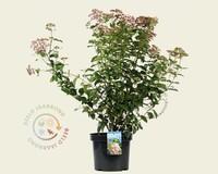 Viburnum tinus 'Lisa Rose'