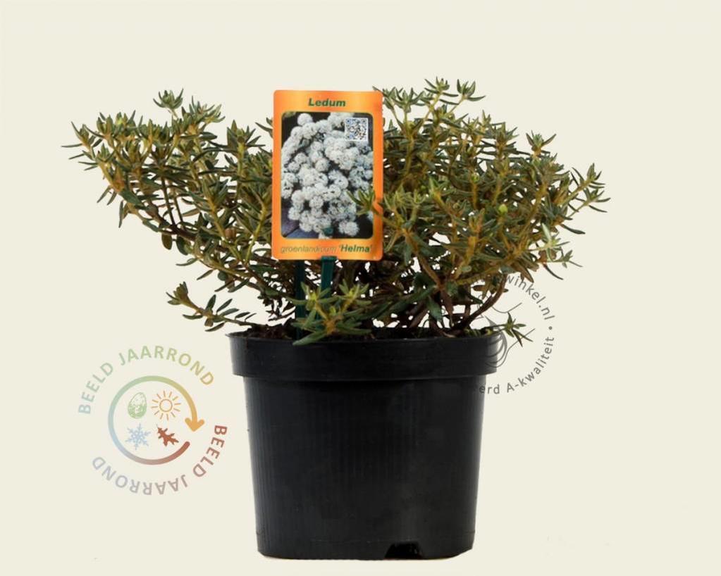 Ledum groenlandicum 'Helma'
