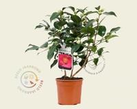 Camellia japonica 'Wheeler'
