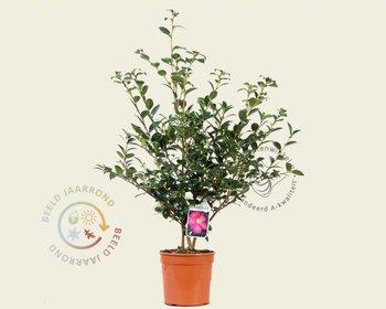 Camellia sasanqua 'Kanjiro'