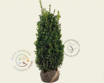 Buxus sempervirens 60/80 - kluit