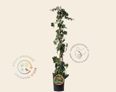 Klik hier om Hedera helix 'Green Ripple' te kopen