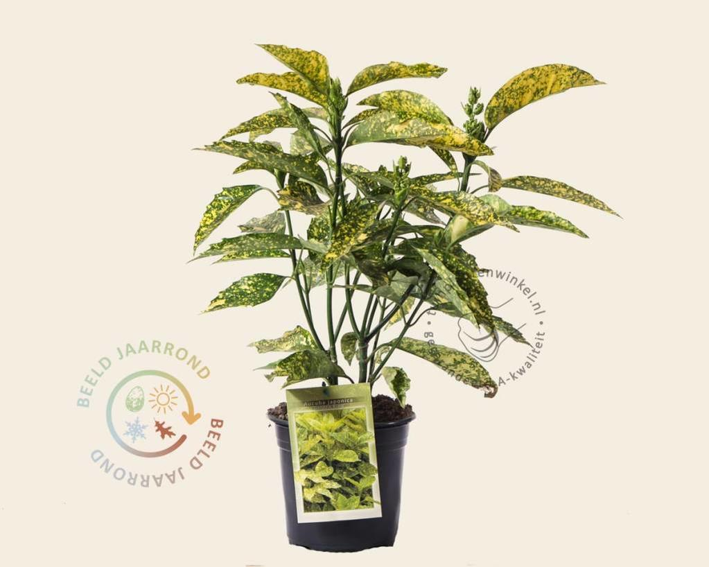 Aucuba japonica 'Golden King'