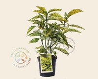 Aucuba japonica 'Golden King'