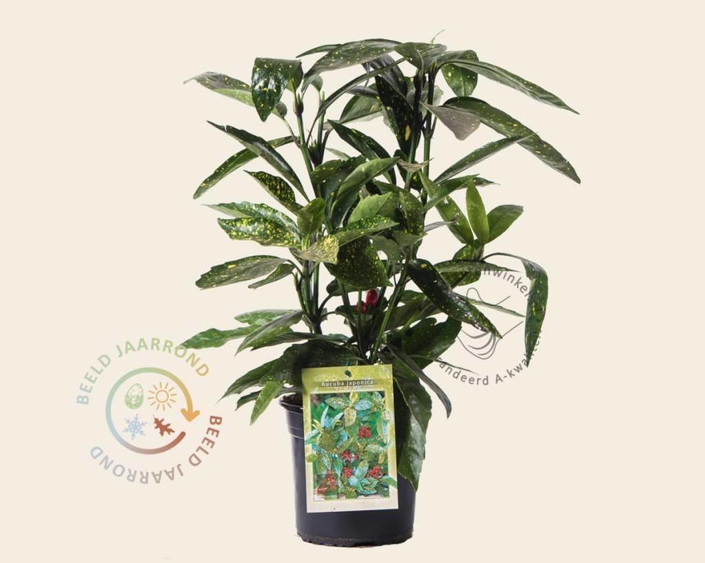 Aucuba japonica 'Variegata'