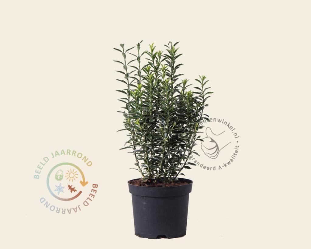 Euonymus japonicus 'Microphyllus Albovariegata'