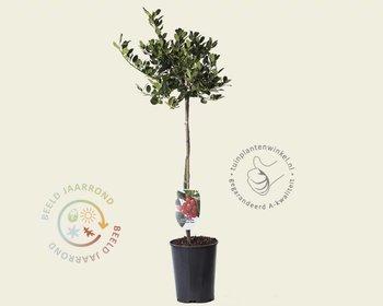 Ilex aquifolium 'J.C. Van Tol' - 60 cm stam