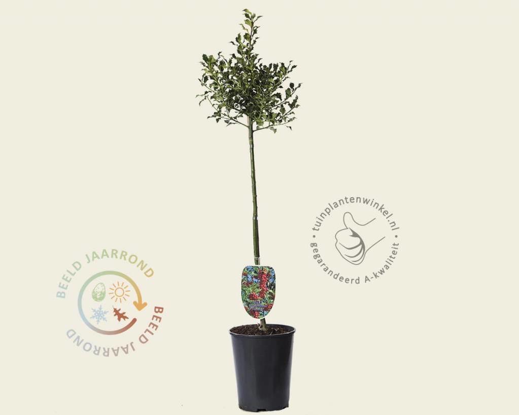 Ilex aquifolium 'Alaska' - 60 cm stam