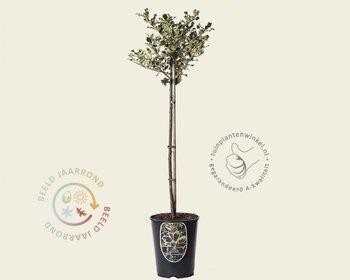 Ilex aquifolium 'Argentea Marginata' - 60 cm stam