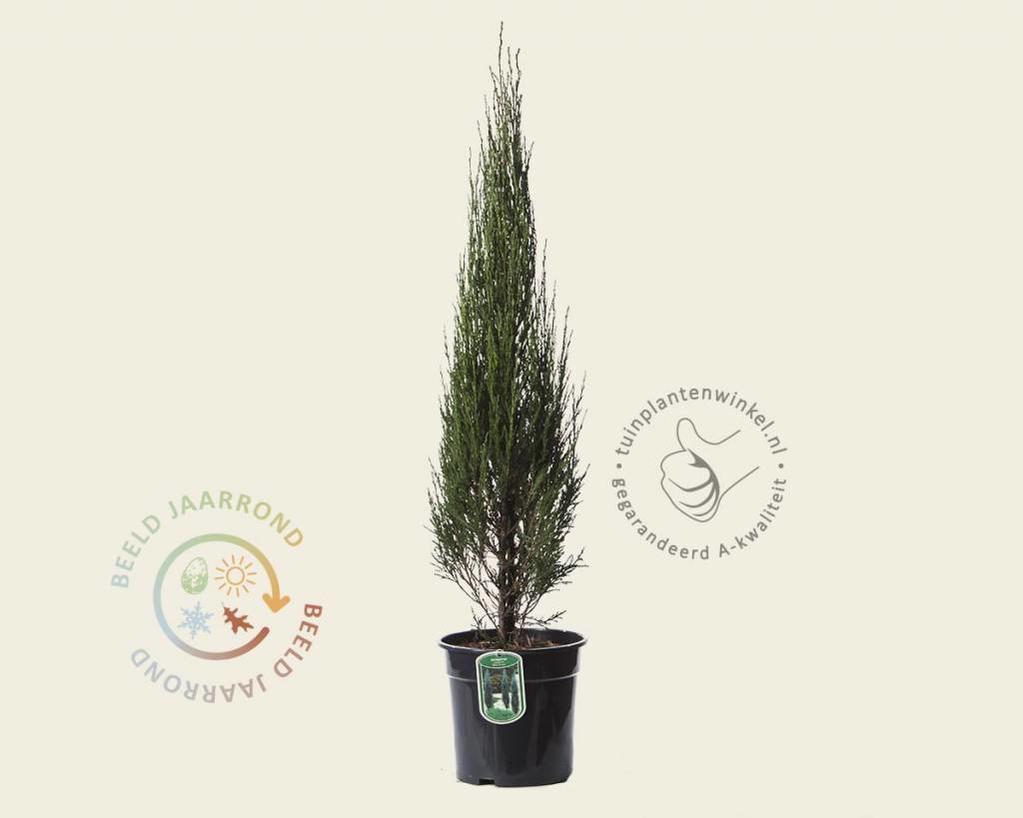 Juniperus scopulorum 'Blue Arrow' 080/90