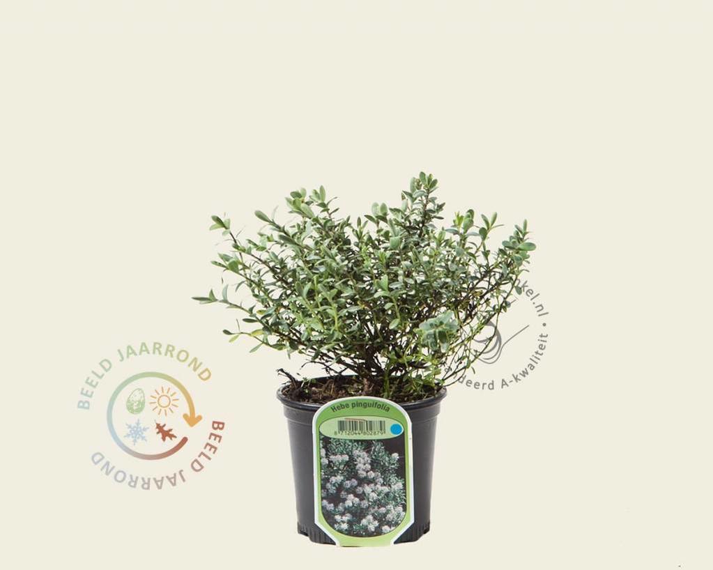 Hebe pinguifolia