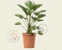 Trachycarpus wagnerianus - 10/20 cm stam