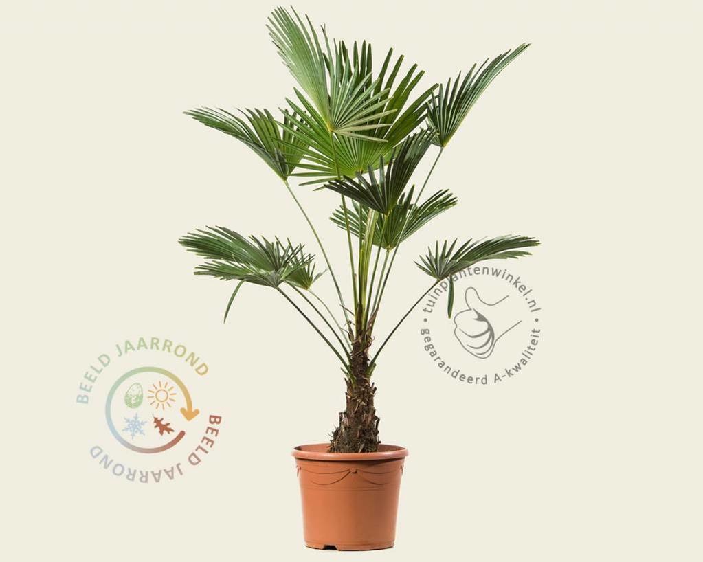 Trachycarpus wagnerianus - 20/30 cm stam