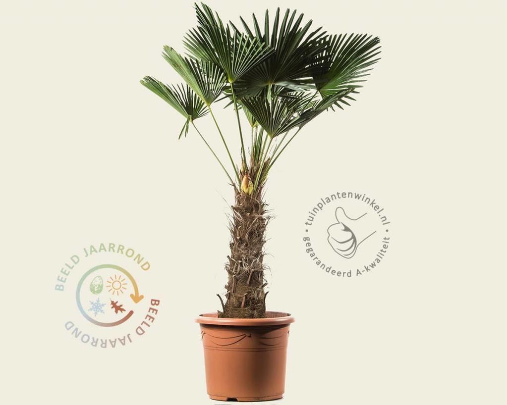 Trachycarpus wagnerianus - 60/80 cm stam