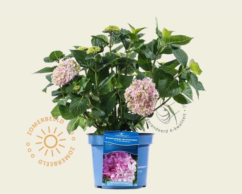 Hydrangea macrophylla 'Endless Summer Pink'