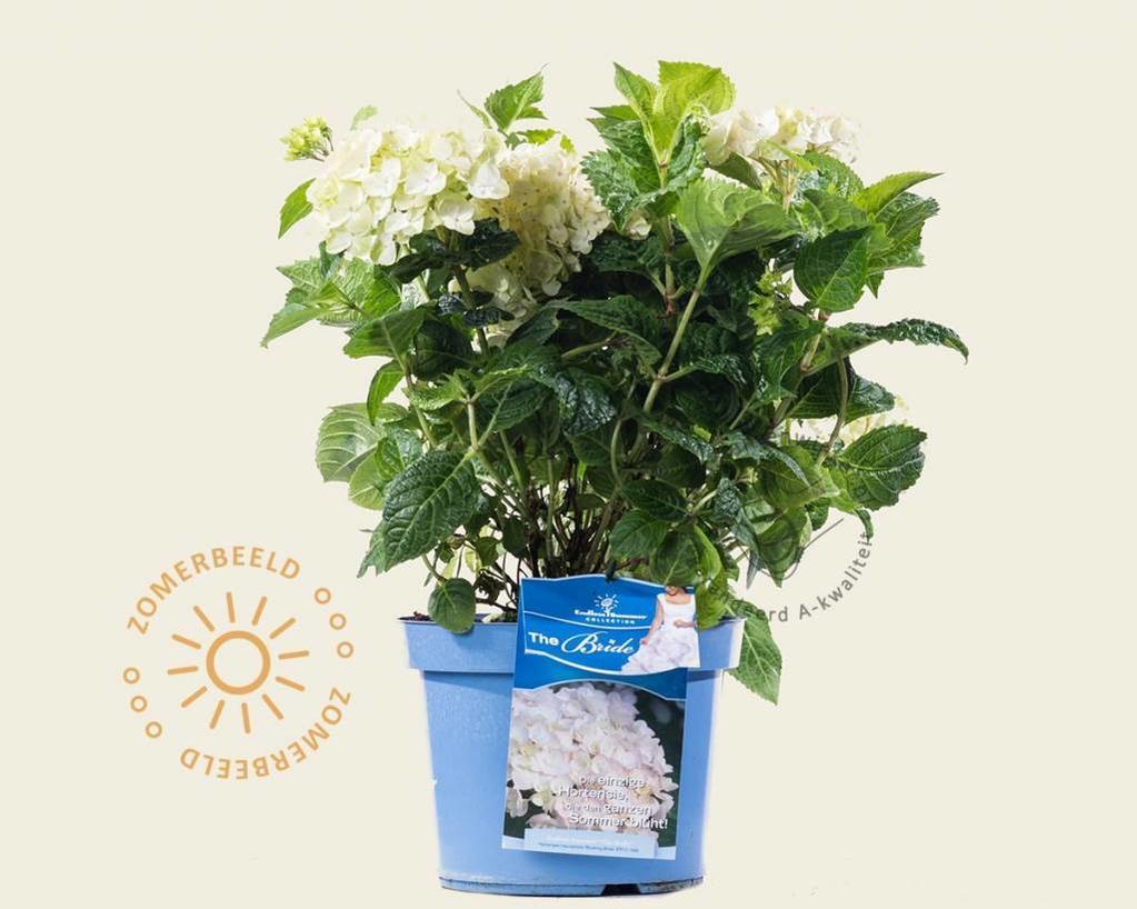 Hydrangea macrophylla 'Endless Summer The Bride'