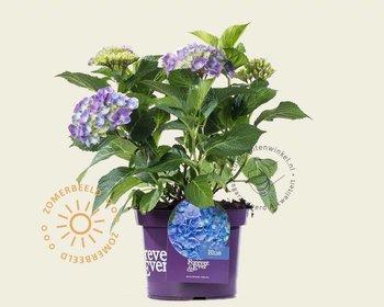 Hydrangea macrophylla 'Forever & Ever' (Blauw)