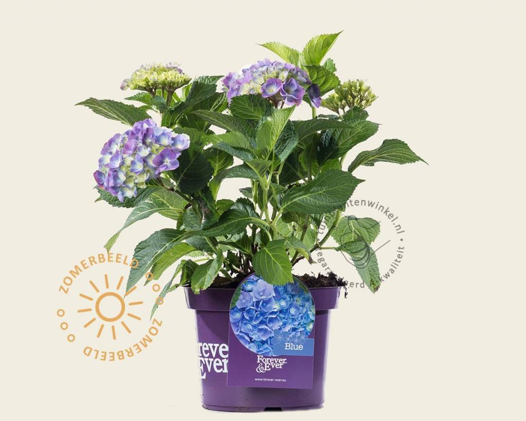 hydrangea macrophylla 39 forever ever 39 blauw. Black Bedroom Furniture Sets. Home Design Ideas