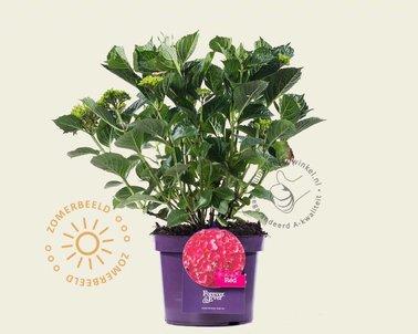 Klik hier om Hydrangea macrophylla 'Forever and Ever Rood' te kopen