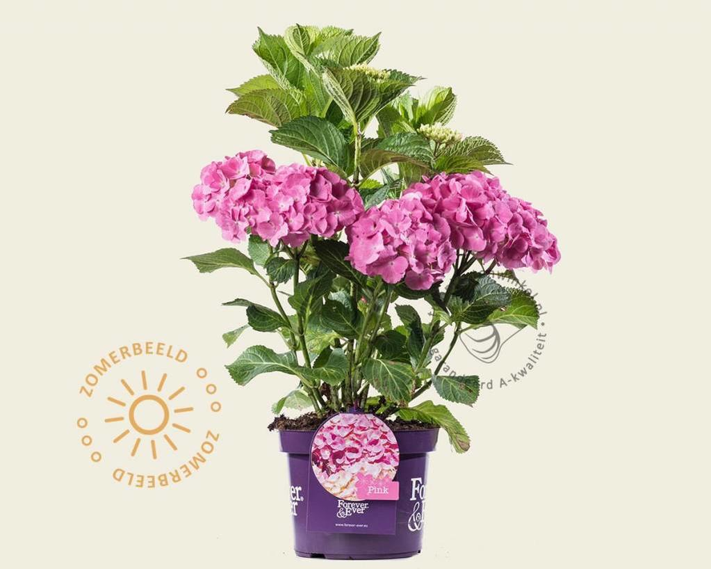 Hydrangea macrophylla 'Forever & Ever' (Roze)