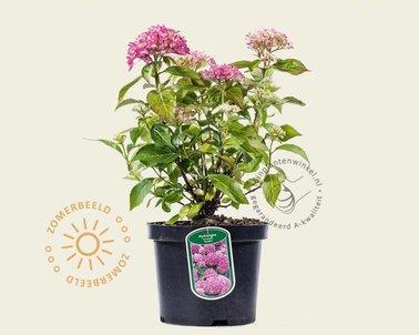 Klik hier om Hydrangea macrophylla 'Tovelit' te kopen