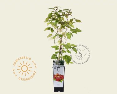 Klik hier om Rubus idaeus 'Malling Promise' te kopen
