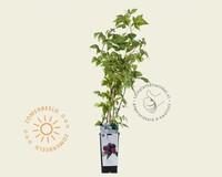 Rubus occidentalis 'Black Jewel'