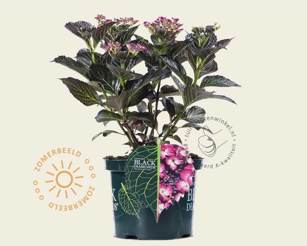 Hydrangea macrophylla 'Dark Angel Purple'