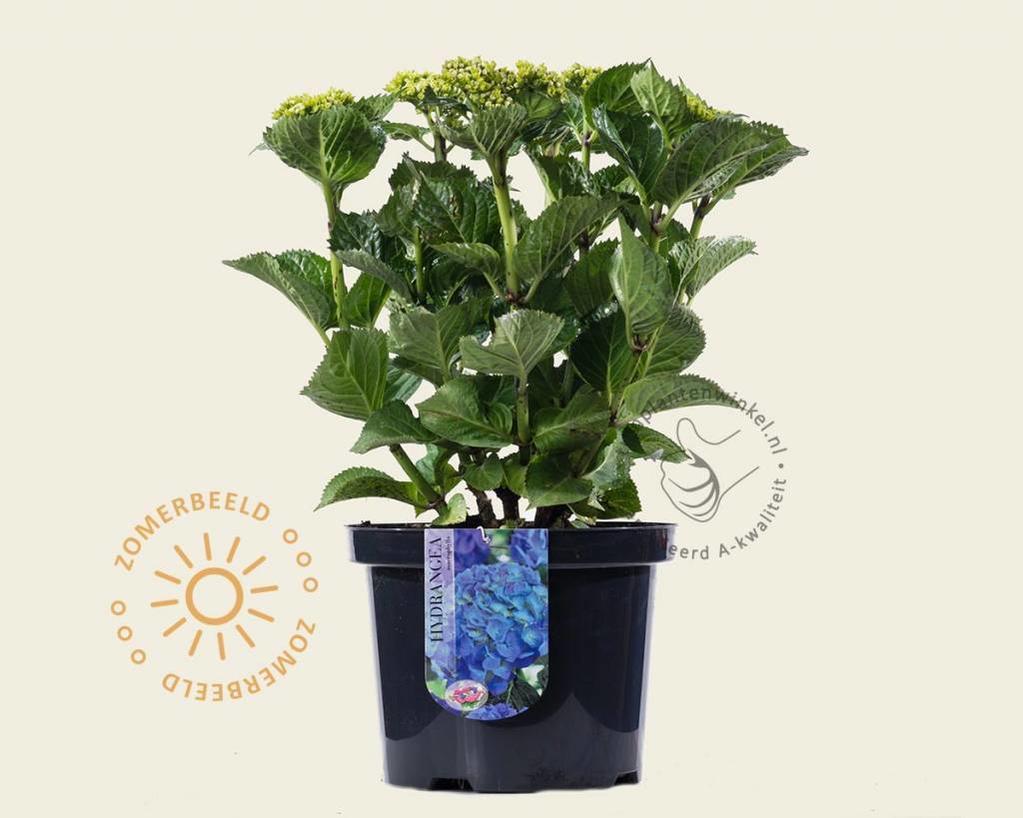 Hydrangea macrophylla 'Blauw'