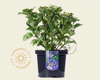 Hydrangea macrophylla 'Teller - Blauw'