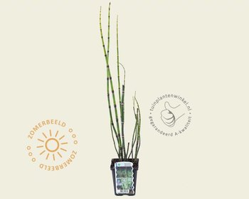 Equisetum japonicum