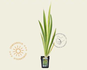 Iris pseudocorus 'Variegata'