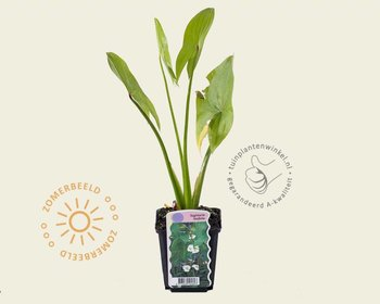 Sagittaria latifolia