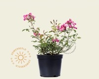 Rosa 'Fleurette'