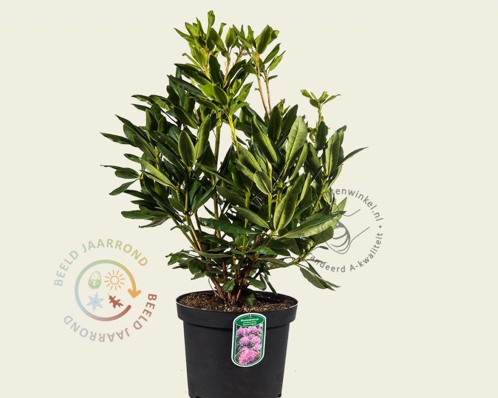 rhododendron 39 roseum elegans 39 rododendron vertrouwd. Black Bedroom Furniture Sets. Home Design Ideas