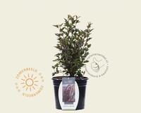 Physocarpus opulifolius 'Little Devil'