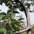 Lei-fruitbomen