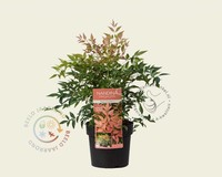 Nandina domestica 'Magical Sunrise'