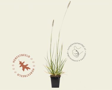 Klik hier om Pennisetum alopecuroides 'Hameln' te kopen
